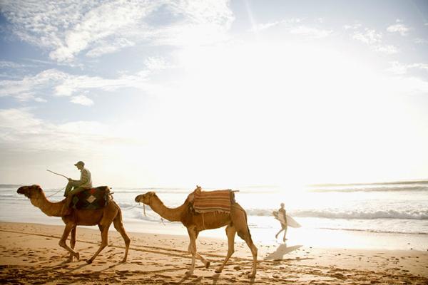 Moroccan-Camels