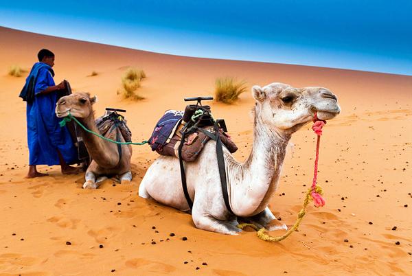 Tangier-Camel